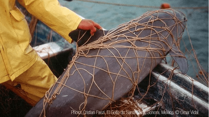vaquita in net