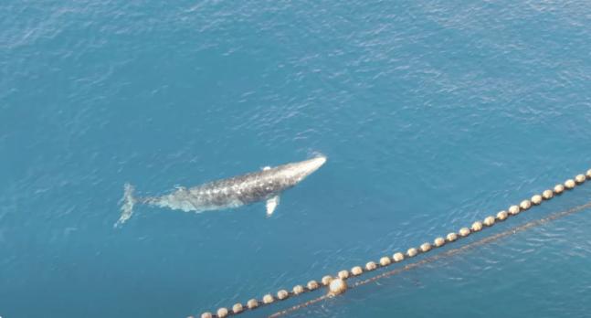 Japan Drowns Whale