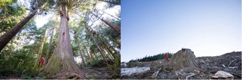 Giant British Columbia Trees