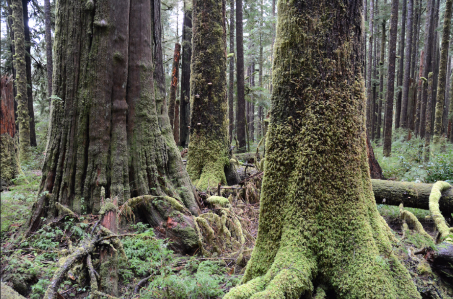 Giant British Columbia Trees