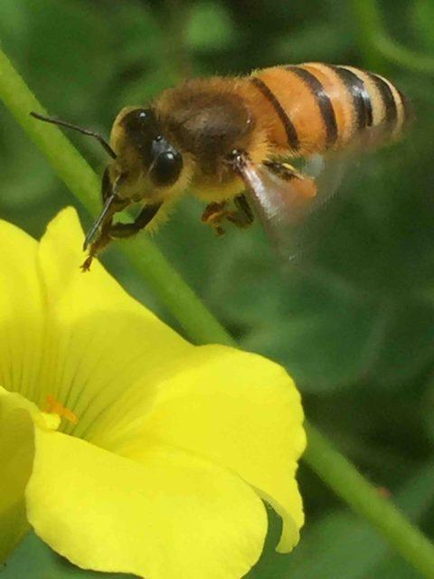 Neonicotinoids - Forager Bee