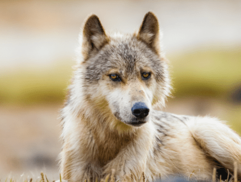Wolves in British Columbia