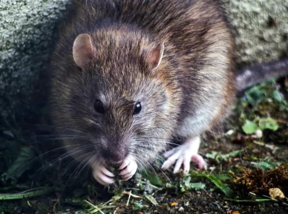 close up of a rat
