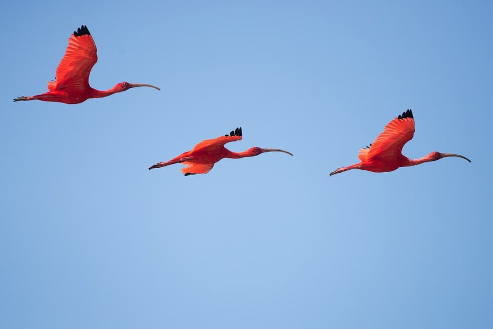 three scarlet ibis flying
