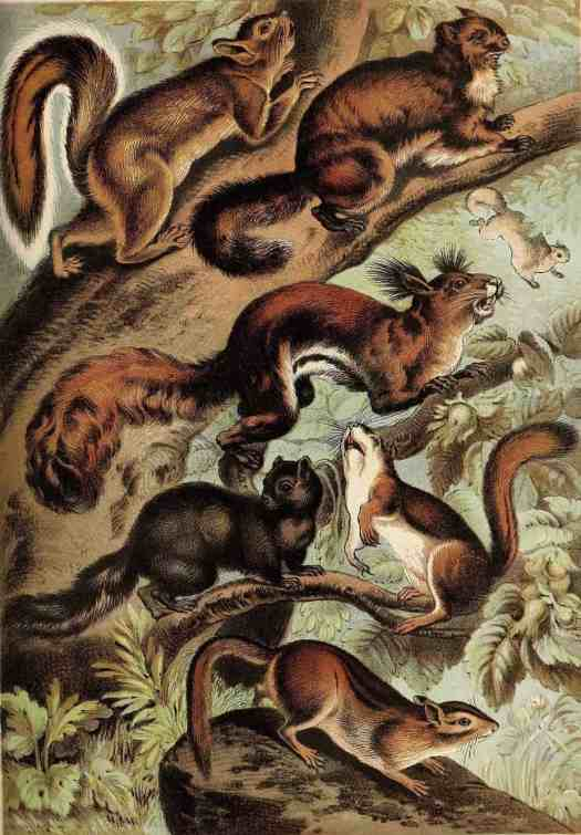 Illustration from Johnson's Household Book of Nature (1880) squirrels