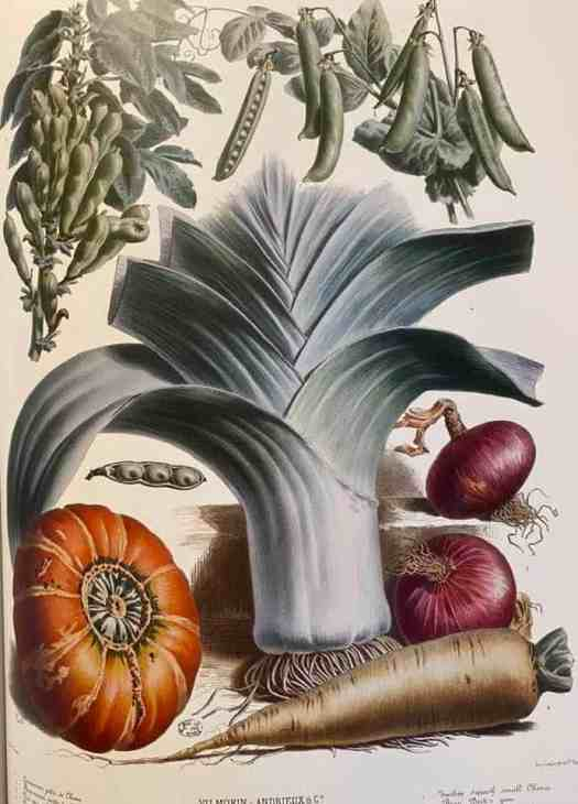 prints published by a seed company called Vilmorin- Andrieux between 1850 and 1895. Many of the illustrations are by Madame Eliza Champin leek parsnip pumpkin onion