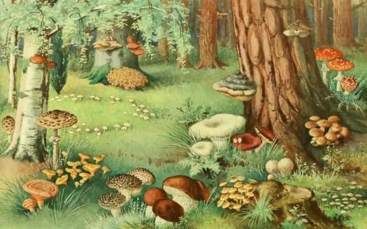H. Eichhorn, in Die Pflanzenwelt [The Plant World] by Otto Warburg. Published 1913 by Bibliographisches Institut, Leipzig