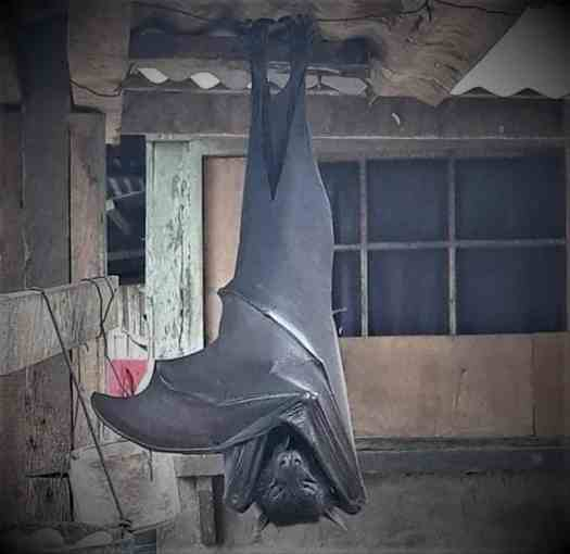 This is an enormous bat from the Philippines, posted on Reddit.