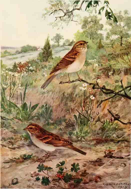 Bird Biographies A Guide-Book for Beginners by Alice Eliza Ball (1867-1948) Illustrated by Robert Bruce Horsfall (1869-1948) New York Dodd, Mead and Company, Inc., 1923 field sparrow