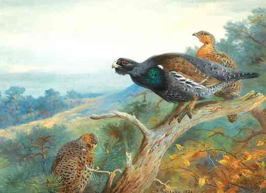 Capercaillie illustration by Archibald Thorburn bird