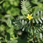 Popular Male Enhancement Ingredients: All You Need to Know About Tribulus