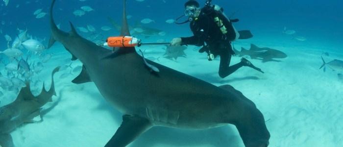 Shark Week 2017 Hammerhead invasion