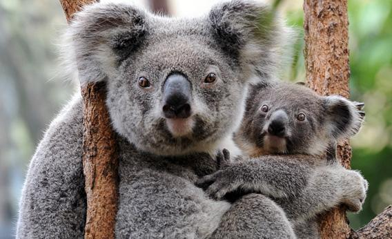 A female koala cuddles her joey.