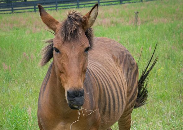 Un zorse, un hybride d'un cheval et le zèbre.