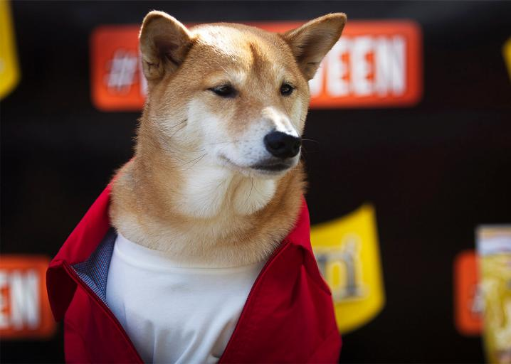 · kabuso is just your average cuddly pup who loves belly rubs… ·… ·… ·… · but there's something a bit special. The Shiba Inu Went Viral Online What Happened To The Breed In Real Life