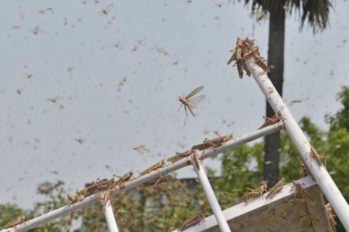Des nuages de criquets volent dans les zones résidentielles d'Allahabad le 11 juin. L'Inde lutte actuellement contre des essaims de millions de criquets pèlerins qui détruisent les cultures. Selon la FAO, un essaim de 1 km2 contient environ 40 millions d'insectes. Ils mangent en une journée l'équivalent de ce qu'avalent 35.000 personnes. Cette invasion est la plus importante depuis trente ans. Cette année, les conditions climatiques, marquées par des tempêtes cycloniques et des pluies inhabituelles, favorisent la prolifération de ces insectes.