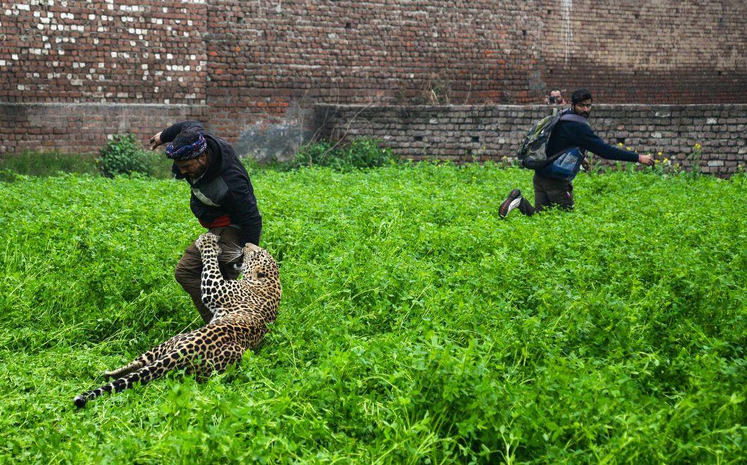 Un léopard errant a semé la panique six heures durant à Jalandhar, une ville du Pendjab dans le nord de l'Inde, le 31 janvier 2019. Plusieurs personnes sont parties à sa recherche le jour même afin de le capturer et éviter tout incident. Cependant,le léopard ne s'est pas laissé faire et a attaqué six personnes, à l'instar de cet homme,sans pour autant faire de victime grave.Il a fini par être acculé dans une maison où il a été endormi, puis capturé.