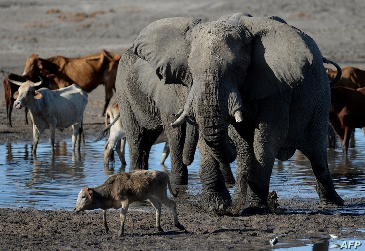 Cattle and hippos wallow in the mud in one of the channel of the wildlife reach Okavango Delta near the Nxaraga village in the…
