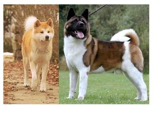 There are two types of akitas the original japanese akita breed and now  separate designation for american standard weights sizes also inu  sled dog society wales rh sleddogsocietyofwales