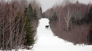 maine-moose-snowmobile-trail