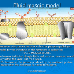 Diagram Of Fluid Mosaic Model Cell Membrane 7 Pin Utility Trailer Wiring With Brakes A Phospholipid - Sliderbase
