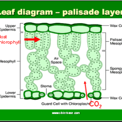 Structure Of Stomata With Diagram 1955 Chevy Dash Wiring Plants General - Presentation Plants, Animals, And Ecosystems Sliderbase