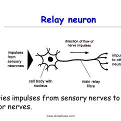 Basic Neuron Diagram Panasonic Car Audio Wiring Nervous System - Presentation Health And Disease Sliderbase