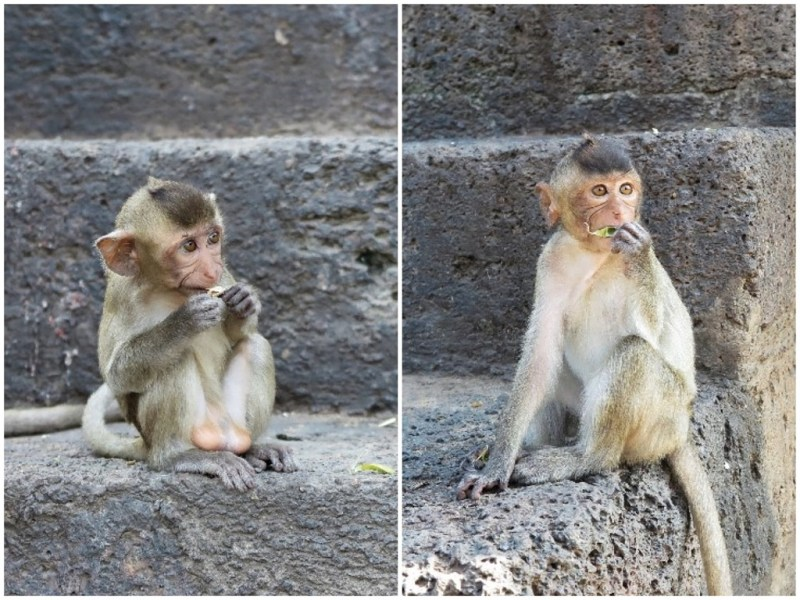 Lopburi baby monkeys collage