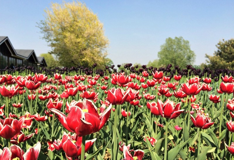 Beijing tulip fields 7
