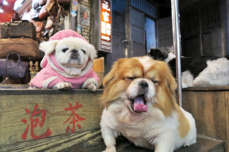 chubby dogs at Juifen