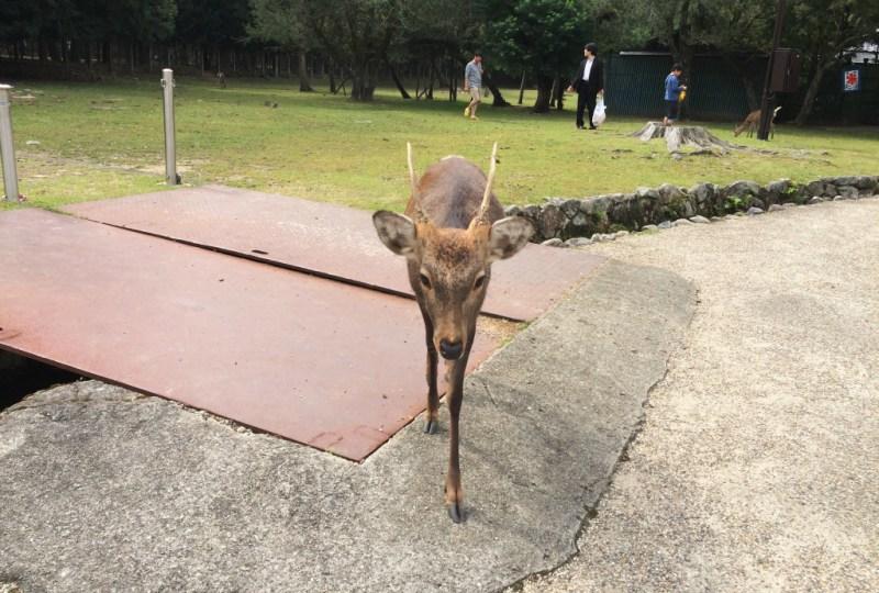 Nara deer 3