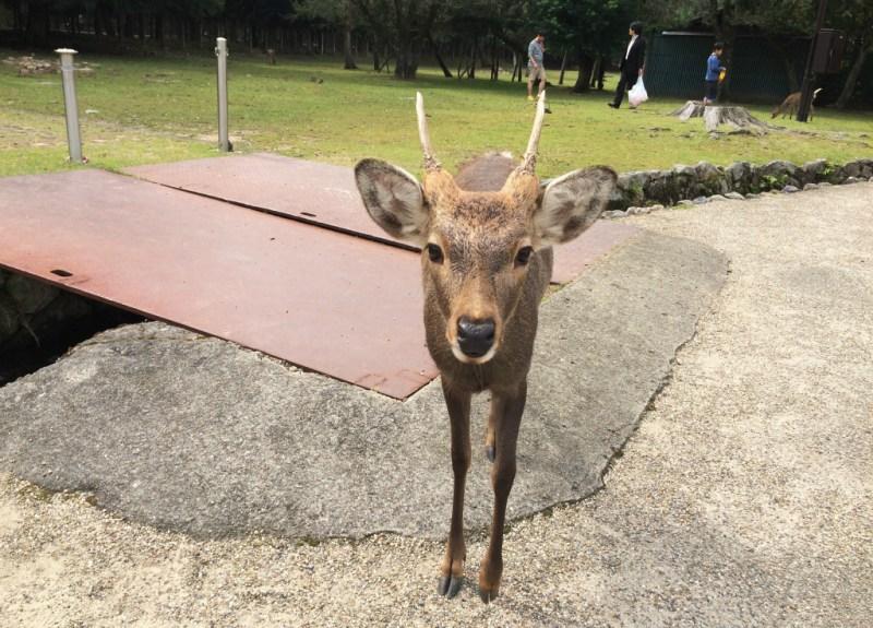 Nara deer 4