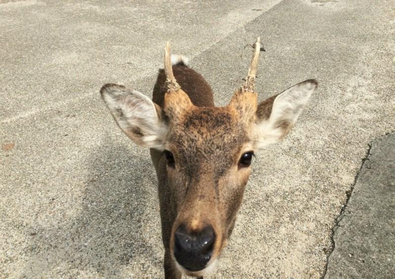 Nara deer 5
