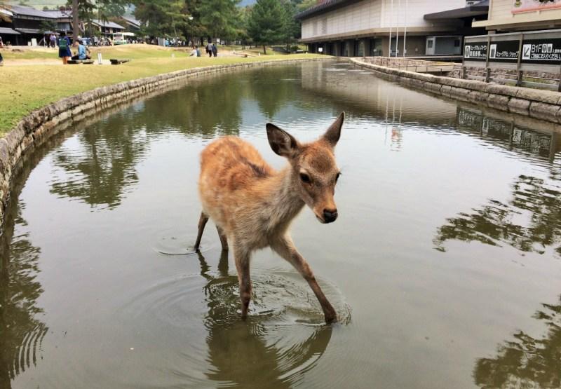 Nara deer 9