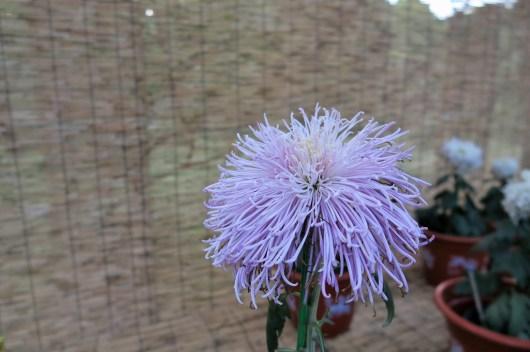 chrysanthemum-11