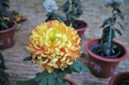 chrysanthemum-15