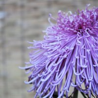 Beijing Botanical Garden: A Study of Chrysanthemums