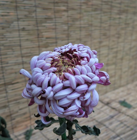 chrysanthemum-18-2