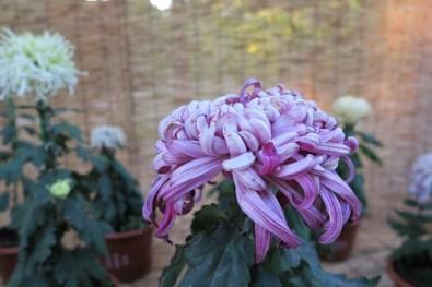 chrysanthemum-23