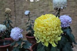 chrysanthemum-26