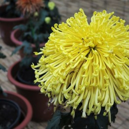 chrysanthemum-30