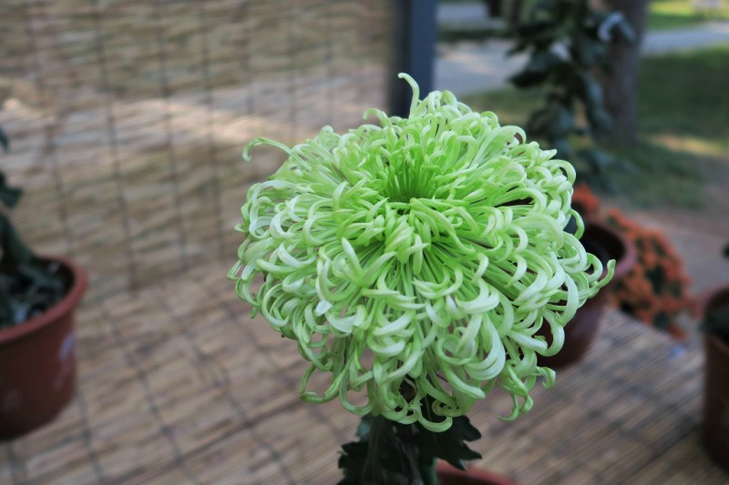 chrysanthemum-5
