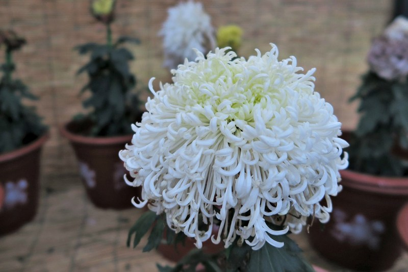 chrysanthemum-8