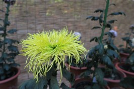 chrysanthemum-9