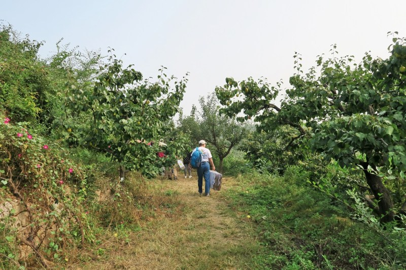 pear-picking-7