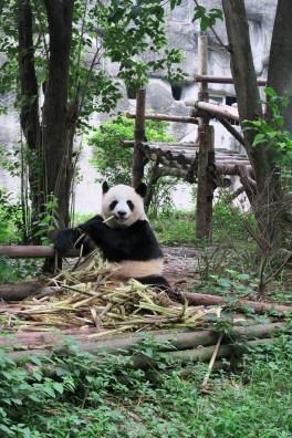 Week 15: Chengdu - visiting the pandas!