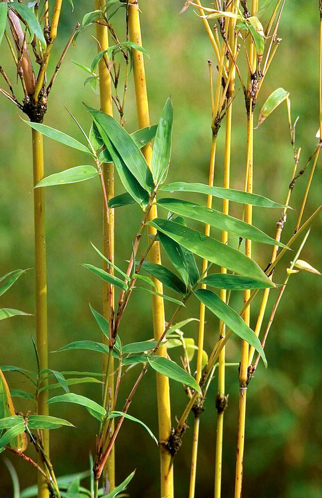 Green Bamboo Plant