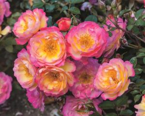 rose RainbowHappyTrails