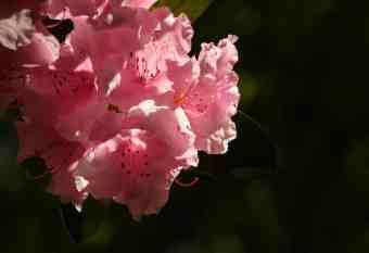 rhododendron shutterstock_1403966