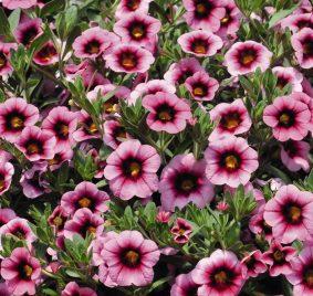 Calibrachoa soft pink